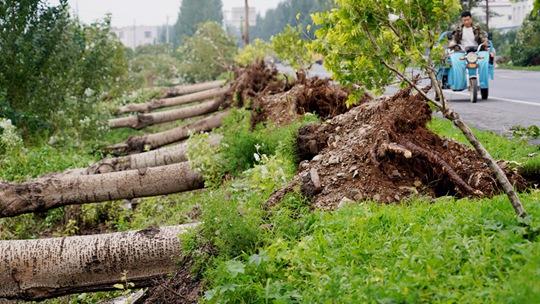 辽宁铁岭遭遇强对流 上千棵大树被吹倒