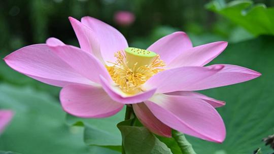 万绿丛中荷花优美 粉花嫩蕊装点夏日风情