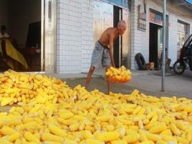 湖北安陆:玉米成熟堆满仓 立秋时节忙收获