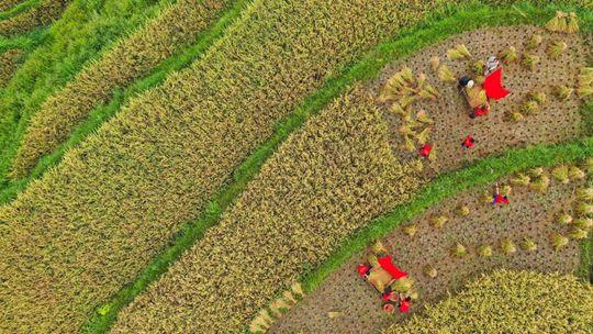 貴州玉屏水稻成熟 農民歡慶豐收