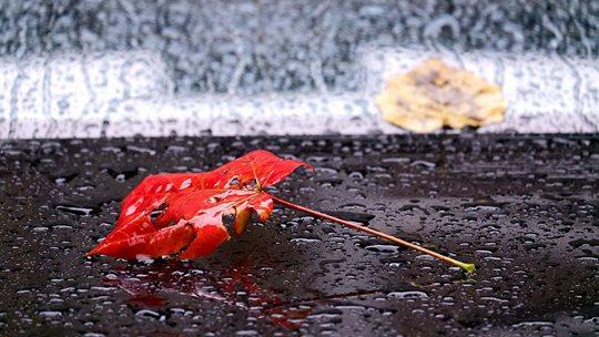 雨中哈尔滨落叶纷飞 秋意渐浓