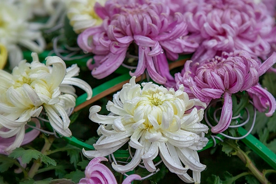 北京双节晨雨赏秋菊 植物园里添凉意
