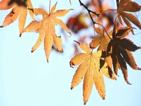 赏斑斓秋叶!山东威海秋正浓