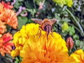 萌趣!微距镜头下的蜜蜂蝴蝶飞舞花间