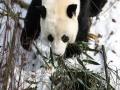 青海西宁大熊猫雪中玩耍 萌趣味十足