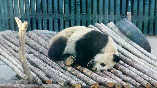 冬日里大熊猫惬意酣睡 呆萌可爱