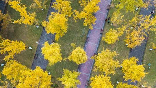 重慶中心城區金黃一片 仿若童話世界