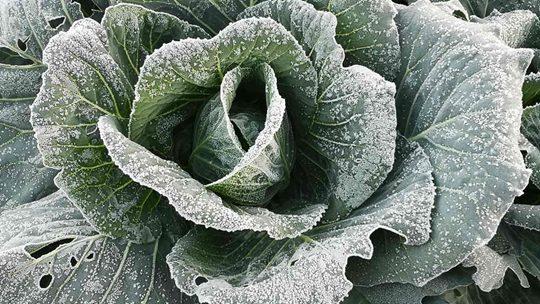 蔬果结霜 广东遭遇大范围霜冻结冰天气