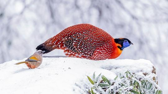 重庆南川红腹角雉等动物雪中觅食如精灵