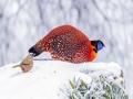 萌萌哒!重庆南川红腹角雉等动物雪中觅食如精灵