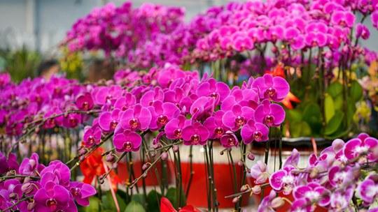 春节临近花卉市场争奇斗艳 市民开心选购