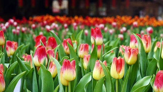 重慶南山植物園郁金香迎春綻放 美不勝收