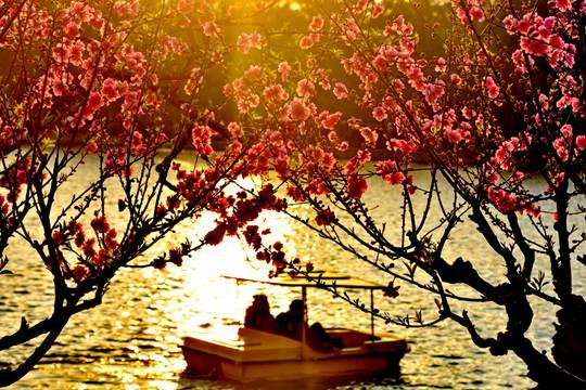 福州西湖公園桃花朵朵開 美輪美奐