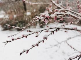 陕西蒲城迎牛年首场降雪 雪映春花分外美