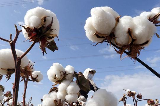 白白胖胖 一组图带你看新疆的优质棉花