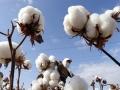 白白胖胖可可爱爱 一组图带你看新疆的优质棉花