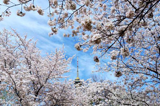 北京玉渊潭公园樱花进入最佳观赏期