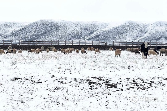 青海海北四月飞雪 牛羊漫步雪中金银滩草原