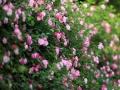 赏春!重庆街头粉色蔷薇烂漫盛开 生机盎然