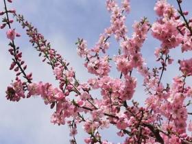 四月芳菲笑春风 甘肃静宁赏花正当时