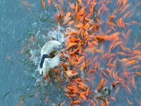 广东天晴好鹭鸟翩翩 摄影师抓拍捕鱼瞬间