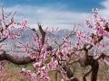 蓝天之下 青海民和桃花绚丽如画