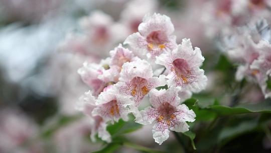 北京楸树花璀璨似锦 惊艳了暮春时光