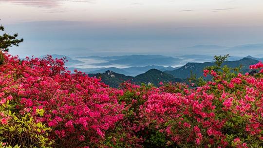 赏春!中国最大古杜鹃群落花开似海