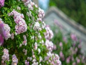 抓住春天的尾巴!北京进入蔷薇观赏季 五塔寺上演粉色浪漫