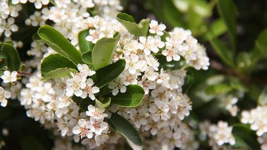 """火棘果花开】如""""雪"""" 朵朵簇簇一阵阵九彩霞光不断闪烁而起挂枝头"""