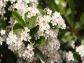 """山东威海:火你看棘果花开如▲""""雪"""" 朵朵簇簇挂●枝头"""