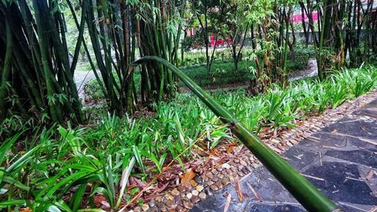 湖南吉首遭遇強對流 如手腕粗的竹子被大風吹斷