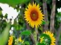 河南汝州向日葵阳光下竞相绽放 明媚鲜亮