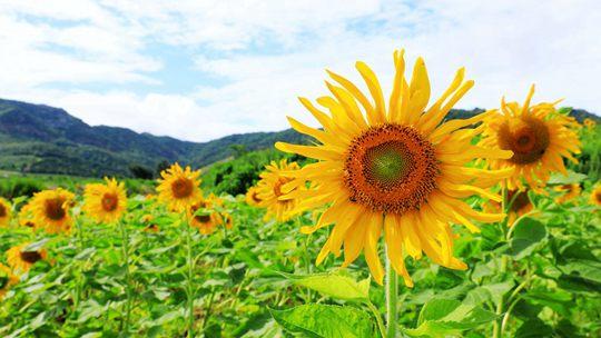 蓝天之下山东威海向日葵金灿灿惹人爱