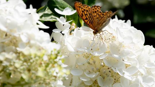 吉林松花江畔木繡球花開正盛 芳香撲鼻
