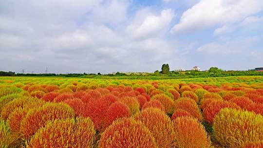 江苏无锡地肤菜开始变红 色彩斑斓如童话森林