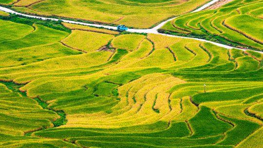 """广西河池稻谷成熟 大地如铺""""金地毯"""""""