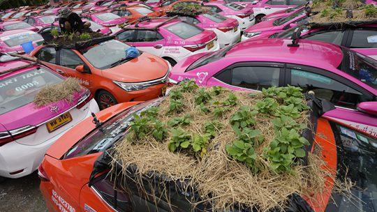 """泰国新冠疫情下大量出租车停运 车顶变身迷你""""菜园"""""""