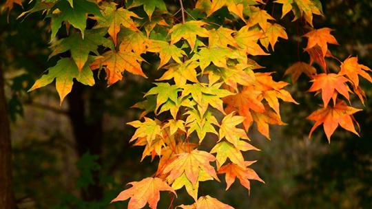 哈爾濱天恒山景區楓樹林進入最佳觀賞季