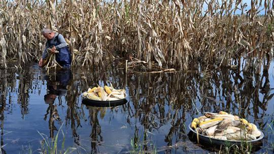 山西运城降雨农田被淹 农民下水抢收庄稼