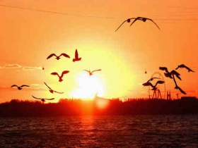 哈尔滨松花江:回迁候鸟舞夕阳 和谐生态美如画