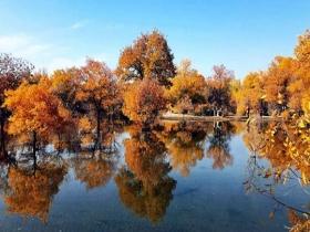 内蒙古额济纳旗胡杨林层林尽染 演绎粗犷与细腻之美