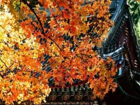 蓝天暖阳下北京香山红叶格外耀眼