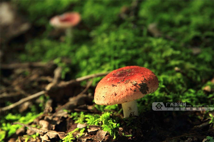 乐业森林中的各种菌类-广西高清图片-中国天气网
