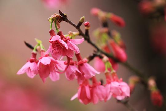 南宁樱花满枝开游人醉