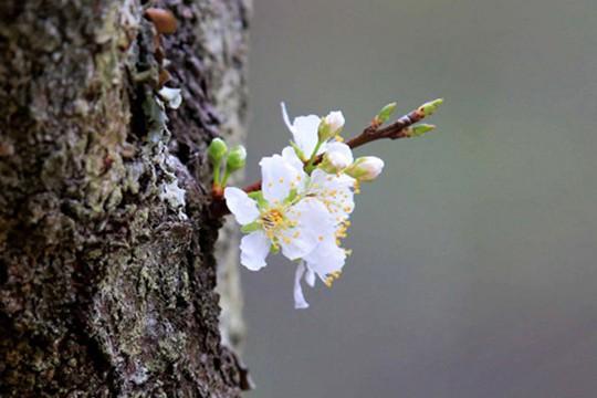 融安百年李树春日开花