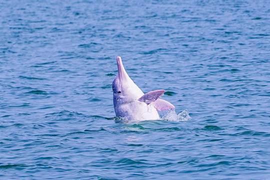 中华白海豚水面戏水