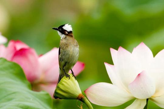 """""""朱子故里""""鸟与荷花媲美"""