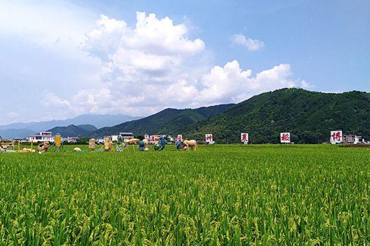 灌阳县超级稻稻浪飘香