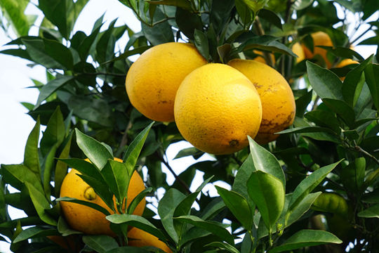 富川脐橙丰收之喜甜入果农心